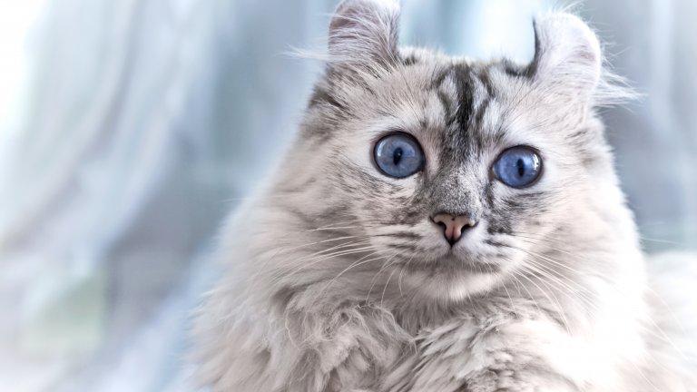Американската къдрава котка идва от Южна Калифорния, а къдравите й уши са резултат от генетична мутация, която се е получила естествено при кръстосването на домашни котки. Тези котки се раждат с уши с права козина, които впоследствие се накъдрят.