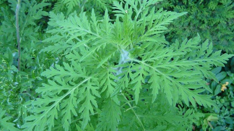 Пелинолистна амброзия (Ambrosia artemisiifolia)
