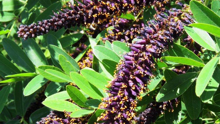 Синя акация, аморфа (Amorpha fruticosa)