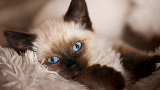 Балийска котка Балийската котка е любвеобилно и красиво създание, което е подобно на сиамската котка, но пуска по-малко косми и се приема за ниско рискова за алергични хора. Имайте предвид, че тези синеоки красавици са доста активни и изискващи: ако не ги удостоявате с толкова внимание, колкото смятат, че трябва, е възможно да правят странни неща, с които да ви го привлекат. Включително да злоупотребят с обувките ви, да.