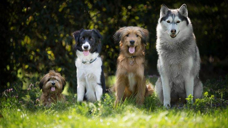 Необичайното състезание всъщност е научен експеримент, целящ да покаже способността на кучетата да запаметяват