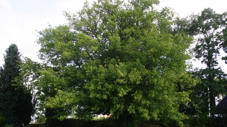 Ясенолистен клен (Acer negundo)