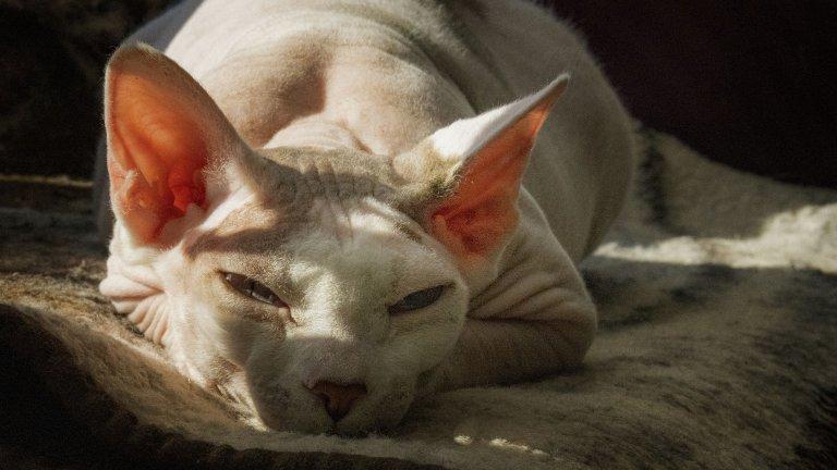 Сфинкс Знаем мнението ви за котката-сфинкс, но наистина, повярвайте, това не е грозно животно. Мит е, че сфинксовете са плешиви. Всъщност, те са покрити с много фина, почти прозрачна козина. Освен това, те могат да получат пърхот. Ако къпете котката редовно, той може да бъде сведен до минимум. Все пак, се счита, че са по-безопасен вариант за алергичните хора.