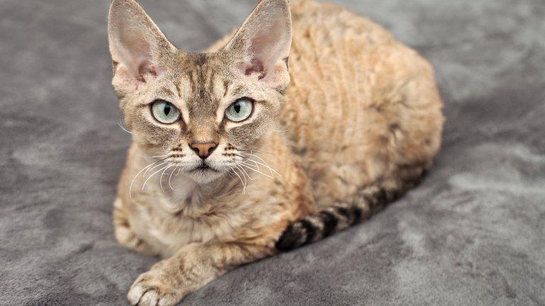 Девон Рекс е една от най-дружелюбните породи котки, изключително подходяща за семейства с малки деца. Тези котки имат рядка и доста къса козина, която има нужда от редовно разресване. Трябва да се къпят често, тъй като слабото им окосмяване дава повишена мастна секреция и могат лесно да развият дерматологични заболявания.