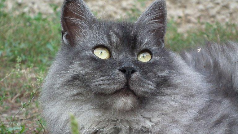 Сибирска котка За сибирката се говори, че съдържа много малко Fel D 1, но това все още не е научно потвърдено. Тези котки са храбри и горделиви, но се поддават на обучение. Разбира се, с много внимание и търпение от страна на стопаните си. Като цяло това са благи котаци, които идват в различни цветови комбинации и са доста приятна компания.