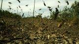 Роякът от насекоми има капацитет да изяде същото количество храна за един ден, което би стигнало на 35 000 души
