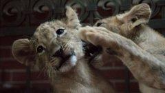 5 месеца неправителствени организации, централна и местна власт не могат да постигнат ефективно решение за съдбата на две лъвчета.