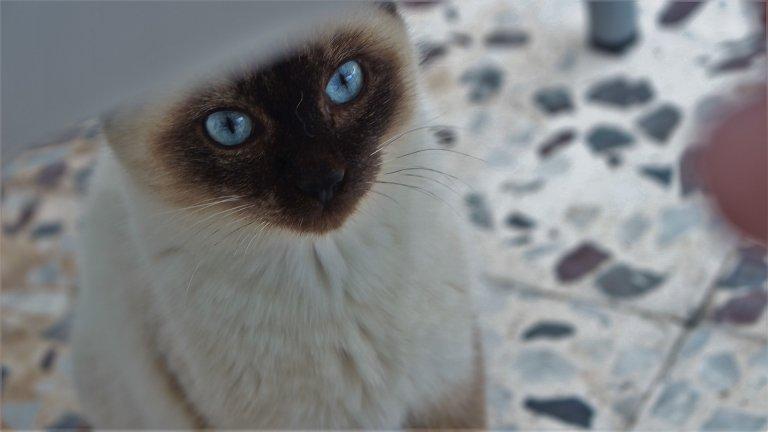 Сиамска котка Славата на сиамската котка поотмина през 90-те, когато заедно с пинчера, сиамката присъстваше в почти всеки апартамент. Модата в домашните любимци обаче е тъпа работа. Макар понякога сиамските котки да са проклетички, в повечето случаи те са гальовни и верни, освен това живеят дълго. Водят се подходящи за хора с алергии и копират поведението и нрава на стопанина си. Да не говорим колко са красиви...