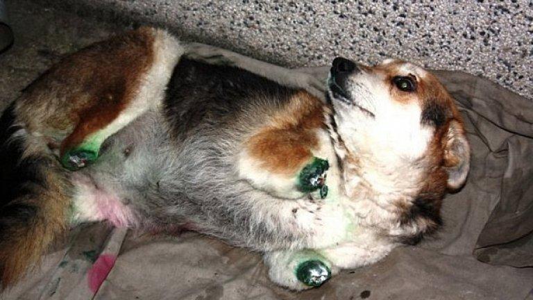 Осакатеното куче Мима, на което изверг отряза четирите лапи, предизвика взрив от съчувствие в Интернет и рехави протести по улиците