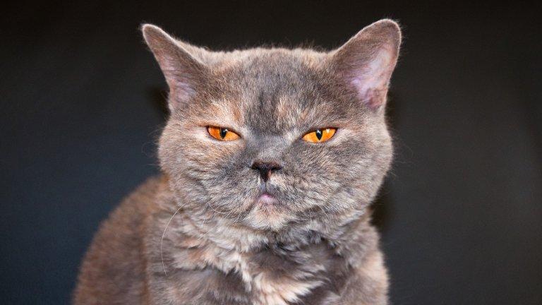 """Селкирк Рекс Може и да ви прилича на Чърч от """"Гробище за домашни любимци"""", но Селкирк Рекс е прекрасно, послушно и търпеливо коте, което е изключително приятно за съвместен живот. Т.нар. къдрава котка намира общ език с деца, с други котки и дори с кучета. Рошавата й козина не се отделя твърде много, което редуцира и броя на алергените във въздуха."""