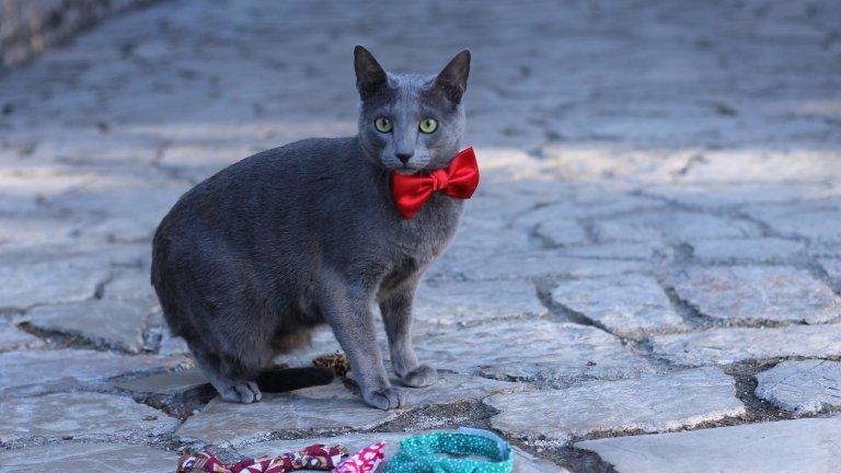 """Руска синя котка Руската синя котка е друг симпатичен избор на хората с умерена котешка алергия. Тя е донесена в Русия около 1860г. от архангелски моряци и в началото се е наричала """"чужда синя котка"""" или """"руски шартрьо"""". Тази порода е по-скоро ненатрапчива, тиха и резервирана към непознати, но е мила и гальовна към стопаните си."""