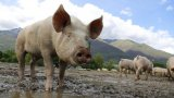 Нови протести срещу БАБХ заради чумата по свинете