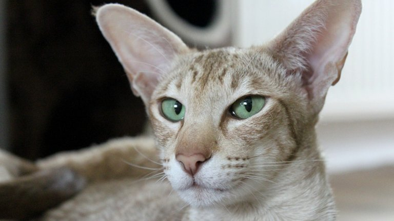 Ориенталска котка Ориенталските котаци с техните големи уши са чисти и добродушни създания. Те са атлетични, игриви и умни, а козината, която отделят не е прекомерно много. Козината на тази котка трябва да се разресва два пъти седмично или да се минава с влажна кърпа, за да се отстранят излишните косми. Тъй като няма долен слой козина обаче, ориенталката е доста зиморничава и е много вероятно да направи всичко възможно, за да се завре под одеялото ви през студените месеци.