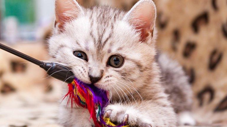 Оказва се, че първите шест или осем седмици от живота на котките са ключови за това дали ще имат положително отношение към хората.