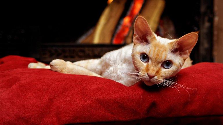 Корниш Рекс Корниш Рекс е екзотична порода котки, което може да е престижно, но идва със специални грижи. Корниш Рекс трябва да бъдат къпани всеки ден, защото в противен случай може да получат кожни проблеми. Добрата новина е, че тези котараци почти не сменят козината си и е достатъчно от време на време да ги минавате с един влажен парцал (нежно), за да отстраните мъртвите косми и те да не се появяват по дивана ви. По-малко косми: по-малко кихавици.