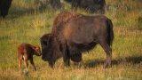 За пръв път от векове насам има диви бизони в Родопите