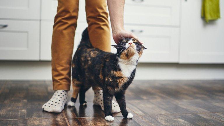"""Отъркването на котката в стопанина някога се приемаше за вид маркиране на територия, както дивите котки правят с дървета или други важни обекти на тяхната територия. Когато го правят с хората, обикновено това е знак за приобщаване - котката прехвърля миризмата си върху вашата кожа, и същевременно пренася вашата миризма върху козината си. Това правят дивите котки с други котки, с които се сближават. Това е начин да се създаде """"общ аромат"""", който да отличава приятелите от враговете."""