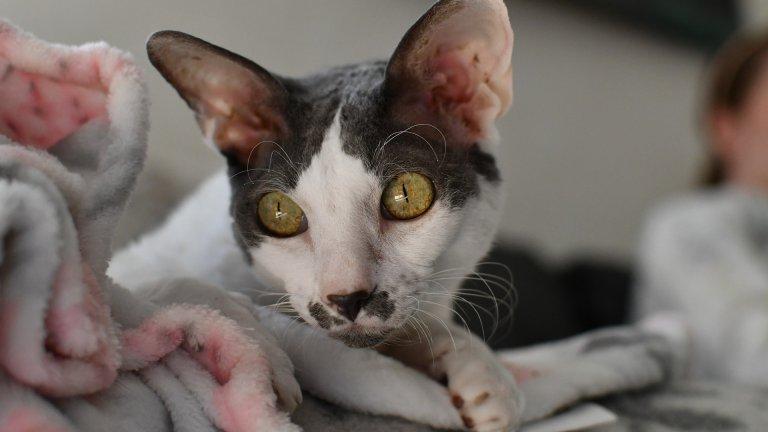 """Девън Рекс Тези смешни къдрави котки дължат козината си поради наличието на рецесивен ген. Те идват от графство Девън в Англия и са подходящи за хора с алергии. Имайте предвид обаче, че това са """"катерачи"""". Ако държите на пердетата си, това не е вашата порода котка. Но ако нямате нищо против животно, което виси от най-неочаквани места в дома ви, Девън Рекс ще ви хареса. Те са игриви и могат да бъдат обучени да ходят по въже!"""