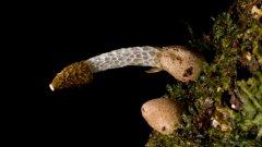 Африканската гъба Phallus Drewesi със зловонна миризма, която привлича насекомите