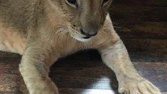 """Кметът на Разград коментира, че """"ако тя (фондацията) не ги желае, може би трябва да посочи причините защо иска само малките лъвчета""""."""
