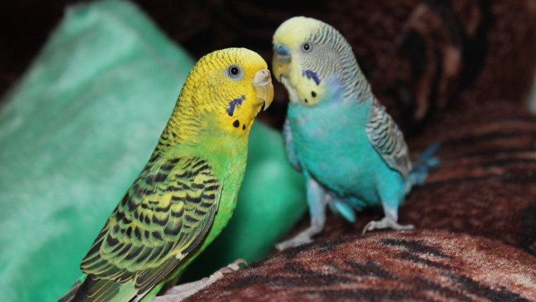 В парка Гюел в Барселона дърветата са пълни от свободно живеещи вълнисти папагали. В Амстердам също гъмжи от тези пернати сладури. У нас обаче може да ги срещнете предимно в домовете на хората, чиито деца са искали куче, но са получили папагал. Вълнистите папагалчета са може би най-разпространените кафезни птици. Те се отглеждат в плен още от далечната 1850 г. Тези птички са умни и социални, привързват се към хората, играят си с играчки и общуват със стопаните си. Освен това могат да бъдат обучени да казват думи и да свирят кратки мелодии. Мъжките могат да запомнят между 10 и 100 думи, а ако се постараете, вероятно може да ги приучите и на някоя сръбска псувня. Женските са по-глупави, в общия случай те могат да научат максимум 10 думи. Имайте предвид обаче, че вълнистите папагалчета са доста активни и имат нужда от движение, затова е задължително да бъдат пускани от клетката, за да полетят на по-широко. А самата клетка не бива да е малка. Консултирайте се с ветеринарен лекар относно диетата на папагала, защото има някои храни (например авокадо), които са отровни за тях.
