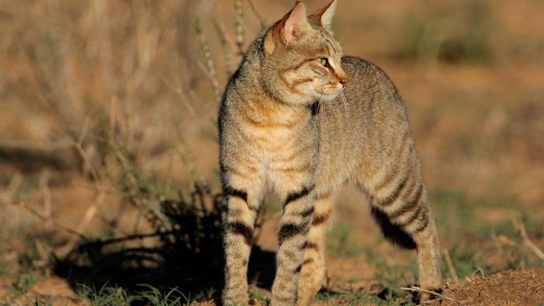 Африканската дива котка, от която сме опитомили нашите домашни котки, Felis lybica, обикновено води уединен живот, предимно срещайки се с други екземпляри по време на размножителния период. Като се има предвид до каква степен котките са различни и дистанцирани от животните, с които живеем, не е странно, че вероятно разчитаме погрешно техните сигнали.