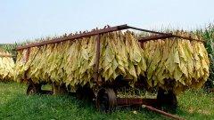 Тютюнът е основен поминък за Родопите и електората на ДПС