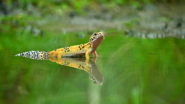 Ако сте фенове на влечугите (които не пускат косми) леопардовият гекон не е никак лоша идея. Геконите са кротки гущери, лесни са за развъждане и имат най-различни цветови варианти. Може би сте ги виждали в Гърция, докато се катерят по стените на къщите вечер. Геконите са нощни животни и през деня обикновено дремят. Ако решите да си вземете такъв гущер за домашен любимец (и кажете на децата, че е мини динозавър), имайте предвид, че мъжките трябва да живеят или сами, или с женска. Те са силно териториални и могат да се бият до смърт. Няма нужда да пълните терариума с растения, тъй като в природата геконът обитава скалисти и песъчливи местности. Обичат да похапват щурци и брашнени червеи, но както при другите екзотични животни, задължително се консултирайте с ветеринар относно диетата и не експериментирайте с даването на зрънчо и шоколад.