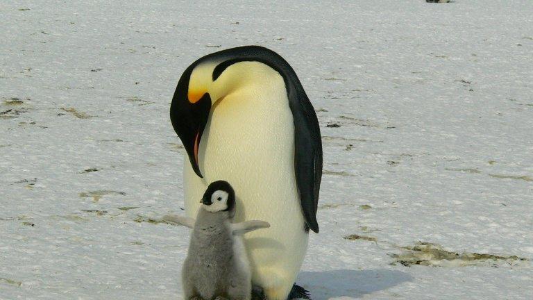 Императорски пингвин Когато женският императорски пингвин снесе яйцата си, нейните хранителни запаси се изчерпват веднага и тя трябва да се върне в океана за цели два месеца. Това стоварва отговорността за топленето на яйцата на мъжкия. А топленето на Антарктида не е шега работа. В продължение на два месеца, в екстремни зимни условия, бащата - пингвин не мърда от мястото си.