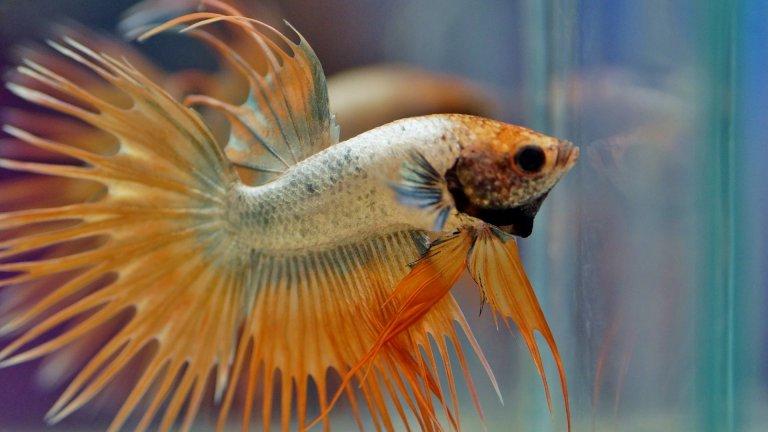 Рибите бяха много популярни домашни любимци през 90-те, когато кучешкото царство в апартаментите се състоеше предимно от пинчери и болонки. Рибите са тихи, не изискват разходки и не пускат косми. Лошото е, че умират изключително активно. Това на снимката е риба бета: красиви, но хищни и доста агресивни рибки, които може да отглеждате сами или заедно с гупи, молинезии и хелери. Бетите оцеляват в малки и плитки пространства, може да ги гледате и в буркан, без да страдат съществено от това. Важно е да не събирате две мъжки бети в един аквариум, защото стават особено свирепи в съперничеството си, вадят се очи, късат се перки и изобщо настъпва една рибешка игра на тронове, която не е подходяща за детските очи.