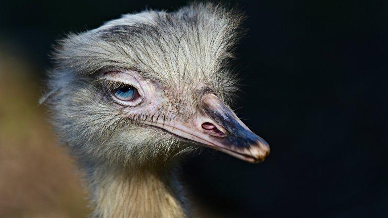 Щраус Подобно на пингвините, мъжките щрауси също мътят яйцата, след като женските ги снесат. За разлика от пингвините обаче, щраусите са полигамни и мъжки понякога мътят едновременно яйцата на 12 женски. Очите им може да шарят, но щраусите-бащи никога не изоставят децата си.   Освен че могат да измътят 50 яйца за 6 седмици, тези татковци за пример носят отговорността за построяването на гнездото и отглеждането на малките пилета в продължение на първите 6 месеца от живота им.