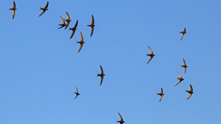 Става дума за редкия вид птици бързолети