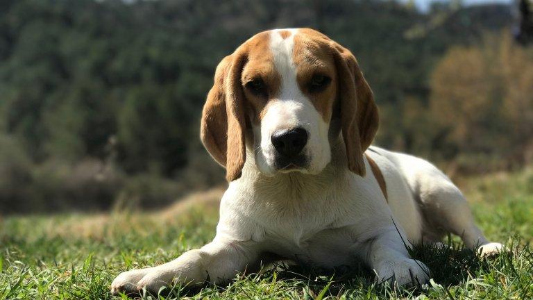 Бийгъл Знаете ли, че Снупи всъщност е бийгъл? Анимационният герой доста точно описва тази порода кучета: те са приятелски настроени, дружелюбни, екстравертни и нежни. Обикновено живеят минимум 12 години, а най-дълголетният бийгъл е живял цели 27 години.