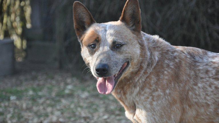 Австралийско овчарско куче Това е сравнително рядка порода, чиято продължителност на живота варира между 12 и 15 години. В момента най-дълголетното куче в рекордите на Гинес е именно от тази порода. Кучето, на име Блу, е живяло цели 29 години. Като типична работна порода, австралийското овчарско куче е енергично, интелигентно и се обучава лесно.