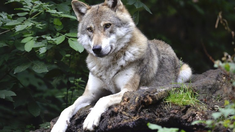 Вълк Въпреки страховитата си слава на безукорни ловци, мъжките вълци са моногамни, внимателни бащи, които са с една женска цял живот. Глутницата реално се състои от няколко семейства с техните малки. Когато роди, вълчицата не се отлепя от бебетата в продължение на няколко седмици.   През това време, бащата ловува, носи им храна и стои на стража. Малките вълчета се хранят с кърма само 3 седмици, след което трябва да започнат да ядат месо. И таткото е този, който се грижи да им го достави.