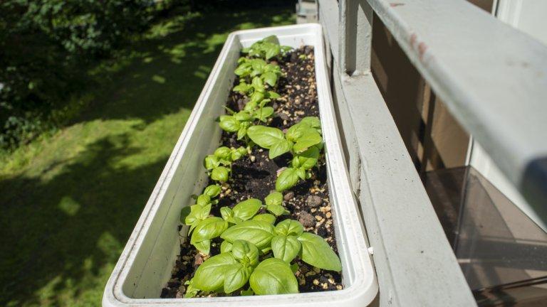 Как да сместим цяла градина на балкона    С каквото и пространство да разполагате, можете да го превърнете в градина. Предвид, че става дума за балкона, който ползвате за отдих, е хубаво да помислите и визуално да изглежда добре и да спестите място. За целта използвайте еднакви саксии. За предпочитане е да са керамични, а не пластмасови, защото пластмасата се нагрява през лятото и може да се отрази лошо на растенията. Но опитът показва, че и в пластмасовите саксии се раждат все пак хубави зеленчуци.   Добра идея е да купите стойки за саксии и да ги наредите по цялото протежение на оградата на балкона - от външната и от вътрешната страна. Това е подходящо за растения с по-къси стебла, като чушки, марули или репички.