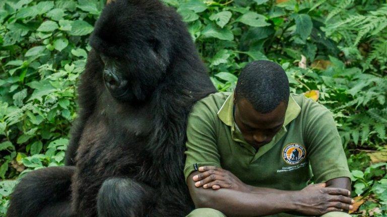 """""""Вирунга"""" има рейтинг от 100% в Rotten Tomatoes и това изобщо не е случайно. Действието тук се развива в Конго и разказва за връзката на един мъж с планинските горили в Конго. Историята е сърцераздирателна, а документалният филм е заснет прекрасно."""